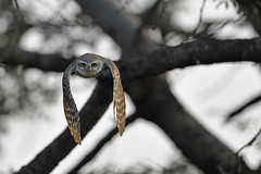 ADS_0000024223-Crop (dickysingh) Tags: wild india color bird nature animal forest fly wings eyes wildlife jungle owl stare predator alert spottedowlet athenebrama ranthambhorenationalpark flightflying smallowl wwwranthambhorecom