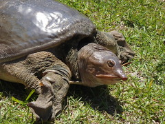 Anglų lietuvių žodynas. Žodis soft-shelled turtle reiškia soft-gliaudyti vėžlys lietuviškai.