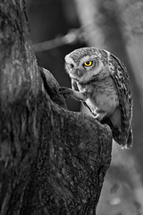 AS_000003668-BW-bigger (dickysingh) Tags: wild blackandwhite india bird nature monochrome vertical eyes wildlife owl stare predator alert ranthambore spottedowlet athenebrama ranthambhorenationalpark smallowl wwwranthambhorecom
