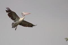 Pelican (AnilVarma) Tags: sky india bird wildlife pelican mysore flightshot canon600d