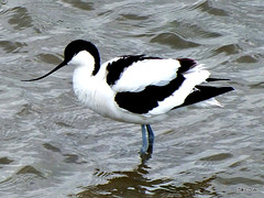 Avocett (Diko G.W. Internet on & off) Tags: panoramafotografico mygearandme me2youphotographylevel1 freedomtosoarlevel1birdsonly vigilantphotographersunite