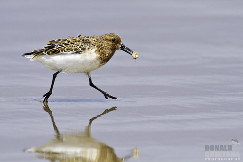 Sanderling, Calidris alba, In alternate plumage running with a snack, Pismo Beach, CA