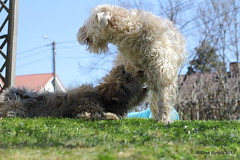 Monther's day fun in the backyard (elsu) Tags: irish dog puppy cola terrier norris wheaten havanese softcoatedwheatenterrier koira softcoated leutola irishsoftcoatedwheatenterrier pentu vehnterrieri vehnis xaviernorris norriscola havannankoira bischonhavanese nocoel