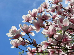 IMG_2113 (quirkyjazz) Tags: trees clouds spring lookingup magnolias blueskky