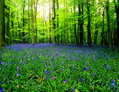 Sea of bluebells (Nada*) Tags: wood uk flowers blue england color colour green nature mobile les bluebells forest wow spring healthy phone walk cell vivid health vegetation bloom wald bluebell 4s ashridge iphone inbloom ashridgeestate ashridgewood iphone4s