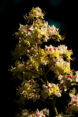 "Horse Chestnut Blossom (oberseloben ""The Roving Eye"") Tags: canon canon20d maidstone aylesford cobtreemanor 80200mmef"