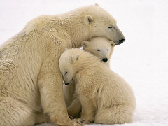 Polar Bear Mother and Cubs Cuddling --- Image by  Kennan Ward/CORBIS (mbfreund) Tags: bear travel snow love parenthood animal animals mammal cub parents support affection wildlife mother nobody security arctic polarbear caring motherhood protection cuddling naturalworld tenderness offspring interaction comforting babyanimal younganimal nurturing groupofanimals smallgroupofanimals threeanimals adultanimal