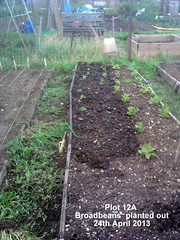 Plot 12A - Broadbeans planted out 24-04-2013 (Davy1000) Tags: carrots leeks broadbeans onionsets earlypotatoes april2013 plot12a lettucelittlegem halfbed beetrootchioggia potatoesrocket