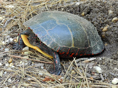 Nesting Painted Turtle (Christine_Ray) Tags: new pine forest state reserve national jersey pinelands barrens belleplain belleplaincapemayandparvin