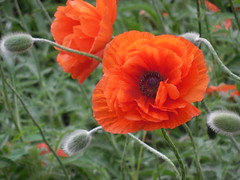 poppies 069 (cellocarrots) Tags: poppies
