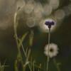 ✿❀ (cнαт-ɴoιr^^) Tags: blumen imgarten goldenart bokeh kornblume blau bleu blue flora wildblume wildflower
