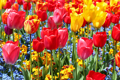 Jamboree of Tulips