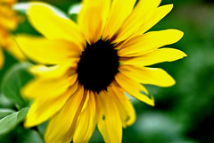 Sunflower (k takashi) Tags: flower macro green nature colors zeiss bokeh sony sunflower carlzeiss rx1