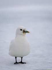 Ivory Gull (peter orr photography) Tags: birds norway fauna europe objects svalbard locations faunaandflora ivorygull pagophilaeburnea hinlopenstretet