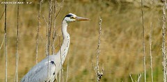 AIRONE CENERINO 1 (grey heron 1 ) Oasi WWF di Marmirolo Reggio Emilia ( Oasis WWF di Marmirolo Reggio Emilia ) http://www.wwf.it/client/render_oasi.aspx?content=0&root=3389 (DIOGENE12) Tags: park parco nature birds animals natura uccelli oasis animali oasi