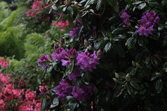 Rhododendrons (judy dean) Tags: naturethroughthelens blinkagain
