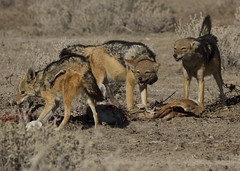 Seen Off (susan yeomans) Tags: africa dog canon mammal jackal wildlife canine safari 7d namibia etosha etoshanationalpark canon7d