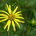 Silphium simpsonii (Simpson's rosinweed, tall rosinweed)