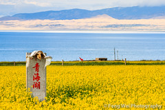 Qinghai Lake, Qinghai China (Feng Wei Photography) Tags: china travel lake flower color tourism nature floral beautiful beauty yellow horizontal rural landscape golden scenery colorful asia view outdoor scenic peaceful rape serenity vista serene agriculture rapeseed qinghai qinghailake rapeflower