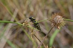Buprestis octoguttata (esta_ahi) Tags: barcelona espaa insectos laura fauna spain coleoptera peneds buprestidae vilob  buprestis plags buprestisoctoguttata octoguttata
