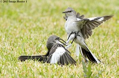 One More From The Mockingbird Fight - Bayou Courtableau, Louisiana (Image Hunter 1) Tags: green nature grass birds fight wings louisiana legs beak feathers bayou swamp northernmockingbird greenery marsh wingspan mockingbird territorial talons spat wingspread specanimal specanimalphotooftheday canoneos7d birdslouisiana bayoucourtableau