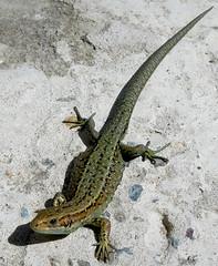 (Jaaaaaaammmmmesssss) Tags: summer nature walking countryside nikon walks country lizard wilderness naturalscience viviparouslizard naturalforms viviparous britishlizards nikonp300 adultviviparous