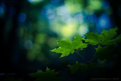 Calming colors.. [explored] (icemanphotos) Tags: blue light sunset sunlight green colors beautiful leaves leaf maple interesting dof view bokeh top background dream naturallight best explore zen winner dreamy explored bokehlicious icemanphotos