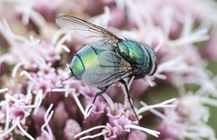 Blow Fly (Barnacle Bill Simmons) Tags: uk macro fly westsussex blow
