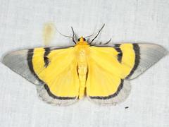 Celerena sp. (near C. signata) (Geometridae, Desmobathrinae) (Scrubmuncher) Tags: tamanthi myanmar burma rosspiper celerena lepidoptera geometridae desmobathrinae myanmarburmawildburmabbc2expeditionbbcexpeditionrosspiperentomologistentomology htamanthi moths lighttrap