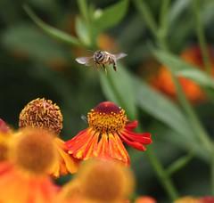 Undercarriage down for landing! (Peter J. Ham.) Tags: life flowers colour nature sunshine fauna canon flora wildlife bee 7d pollen topaz denoise