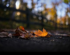 leaf-decorated autumn path along a bokehlicious fence (marianna_a.) Tags: morning autumn light canada fall leaves fence leaf quebec bokeh path hff theworldwelivein mauriciepark mariannaarmata f64g55r1win