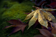 foliage_2013_07 (jam343) Tags: autumn red macro green fall wet leaves yellow leaf moss waterdrop drop foliage momiji  90mm