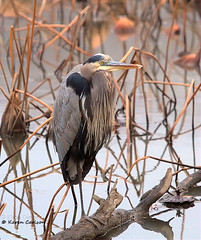 Great Blue Heron on a Dreary Day (acadia_breeze4130) Tags: heron nature water canon pennsylvania waterbird 7d wildwood harrisburg greatblueheron wildwoodpark karencarlson fantasticnature wildwoodlake dailynaturetnc13