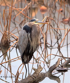 Great Blue Heron on a Dreary Day