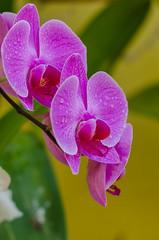 Phalaenopsis (mcvmjr1971) Tags: flower macro lens nikon orchids sigma 150 d7000