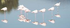 DSC_7581.jpg (Ferraris Clemente) Tags: sardegna wild birds sardinia uccelli pinkflamingo olbia stagno fenicotterirosa