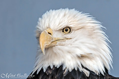 American Bald Eagle Portrait (Mitch Vanbeekum Photography) Tags: portrait eye face up newjersey close baldeagle nj haliaeetusleucocephalus americanbaldeagle millington greatswamp raptortrust canon5dmkiii canonef500mmf4is canon14teleconvertermkiii mitchvanbeekum