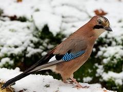 Ntskrika Garrulus glandarius (StefanOlaison) Tags: snow bird sweden nieve ave sverige sn suecia fgel eurasianjay garrulusglandarius eksj naturfoto ntskrika hglandet elarrendajo