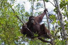Orang Utan, Semenggoh Wildlife Centre, Sarawak, Borneo / Malaysia (anschieber | niadahoam.de) Tags: borneo 2012 orangutans borneanorangutan menschenaffen 201203 sarawakmalaysia borneoorangutanpongopygmaeus semenggohorangutanrehabilitationszentrum orangutanssemenggoh