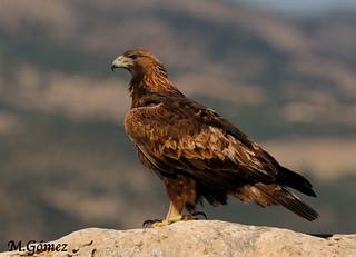 Aquila chrysaetos, Aguila real adulta