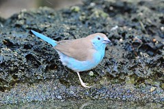 Blue-breasted Cordon-bleu (Uraeginthus angolensis) (R-Gasman) Tags: canada bird vancouver britishcolumbia bloedelconservatory uraeginthusangolensis bluebreastedcordonbleu