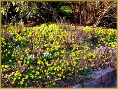 Garden now_wb43_0067 (Aureusbay) Tags: garden spring neighbour crocuses mft sigma30mm winterlinge luneburgo mrzbecher ochtmannshusen aureusbay dmcgx1