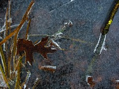 Ice/Leaves, Monroe, CT (Edwaste) Tags: connecticut newengland ct omd em5 olympusomdem5