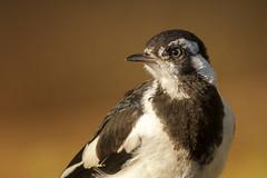 Birds in my back yard - Magpie Lark (Pete Taylor's photostream) Tags: portrait backyard nikon brisbane 300mm queensland nikkor grallinacyanoleuca brisbanebirds