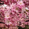 Cherry Blossom (electrigger) Tags: cherry blossom cherryblossom cerise hanami kirsche cereza kirschbluete