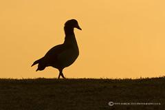 EGYPTIAN GOOSE - Alopochen aegyptiacus (mark_rutley) Tags: silhouette sunrise goose egyptiangoose sumnerponds