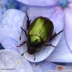 Beetle (Chrysina sp.) (LPJC) Tags: costarica beetle sanjose chafer 2013 hotelbougainvillea lpjc chrysina