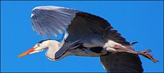 Heron cendre HC1245 (Bernard Hague) Tags: sky heron canon freedom flight bleu ciel vol aile camargue hron canonef100400mm pontdegau canoneos5dmarkii