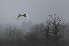Swan in Flight (Scott Kilbourne) Tags: lake bird nature water birds leicestershire wildlife leicester naturereserve 5d canon5d 2015 eos5d syston canoneos5dmarkiii canon5dmarkiii eos5dmarkiii watermeadwaterpark