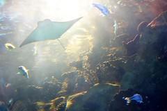 Newport Aquarium (ted @ndes) Tags: aquarium ray stingray ky cincinnati newport